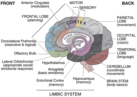 Brain Parts Diagram